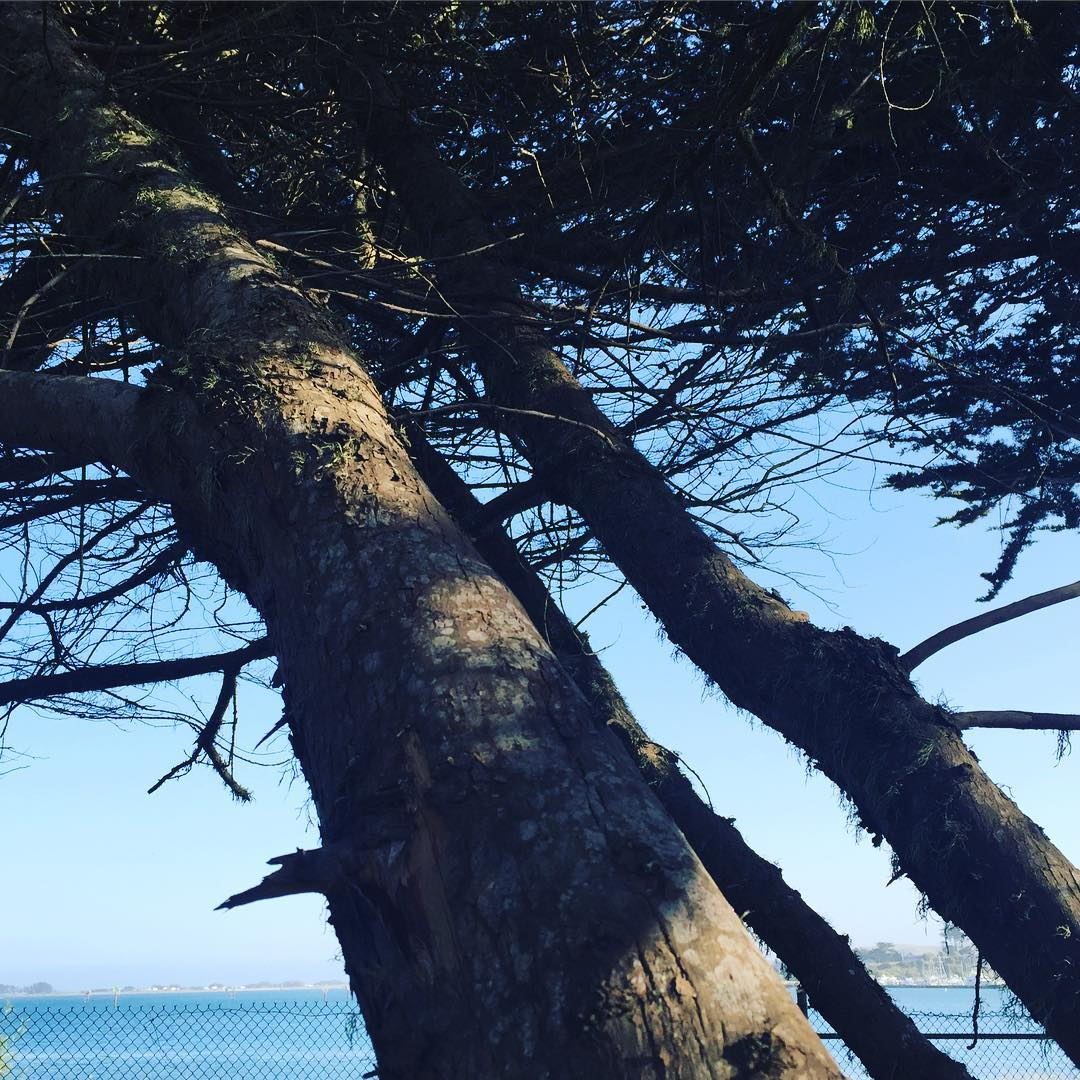 monterey cypress by the bay