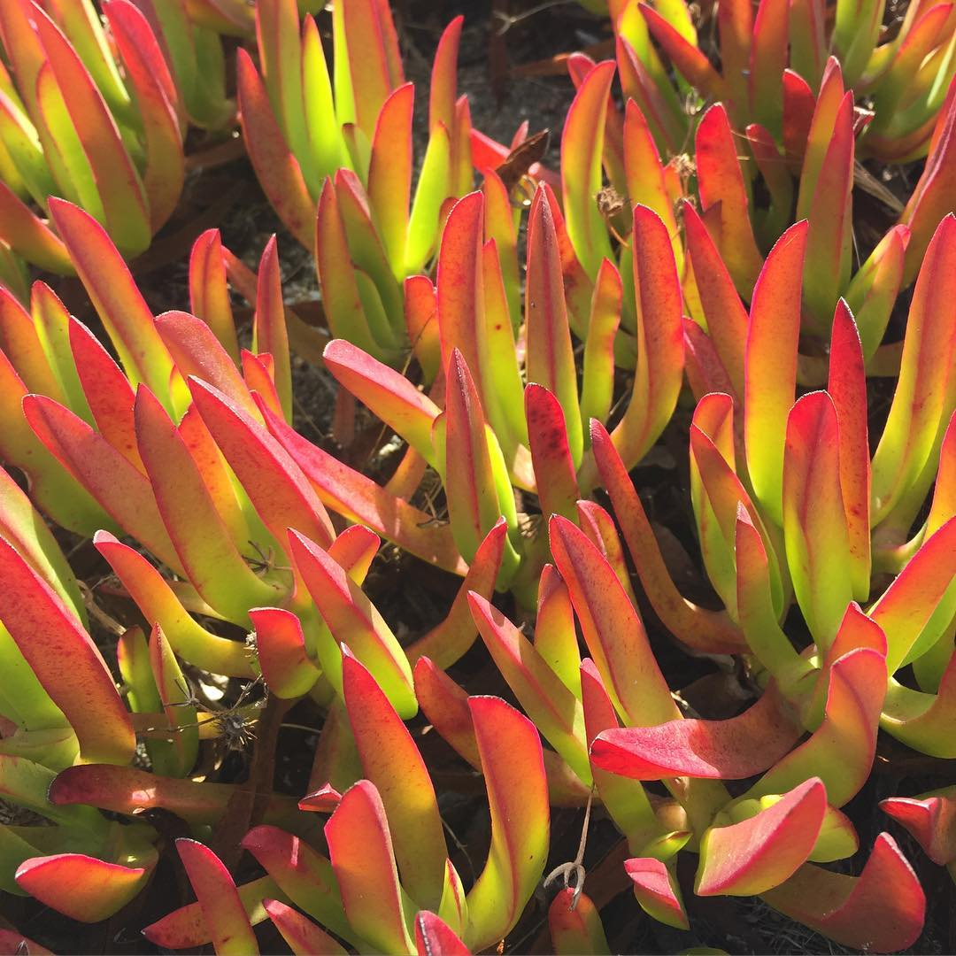 red and green ice plant