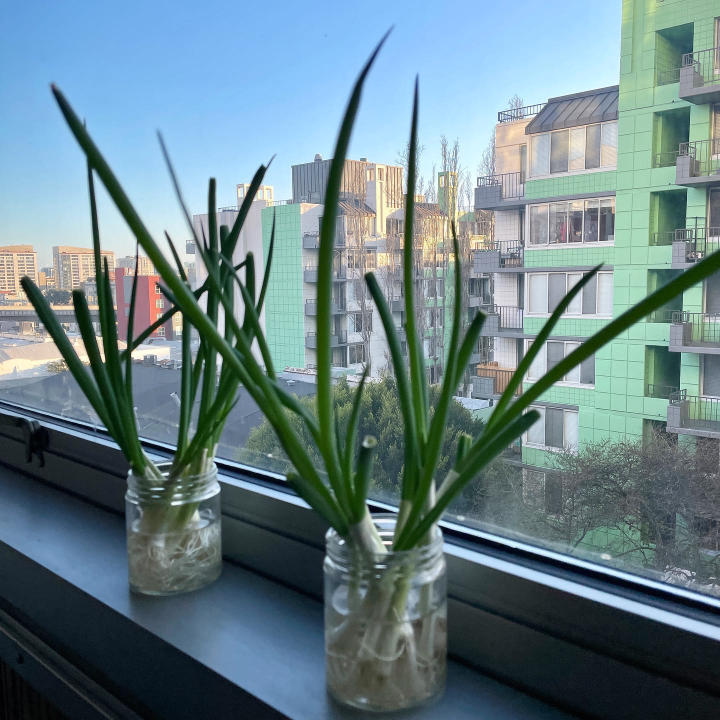 Simple urban garden with @maxkiesler's green onions. We just harvested last week's growth and made green onion pancakes. 😀